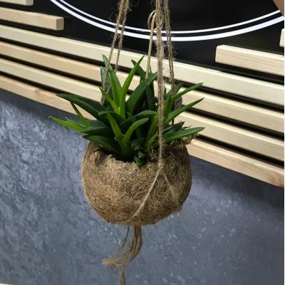 Aloe vera in ghiveci