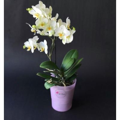 Orhidee Phalaenopsis Pitică Albă