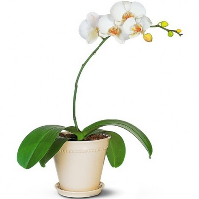 Orhidee albă în ghiveci cu 1 creangă